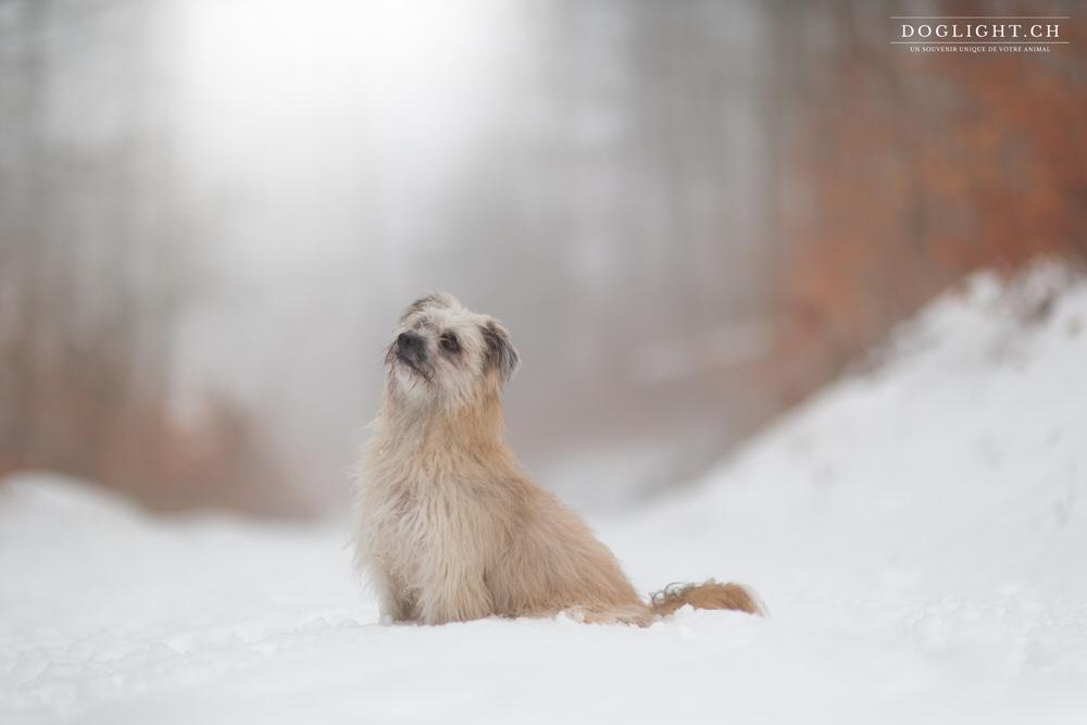 Berger des pyrénées poil long dans la neige