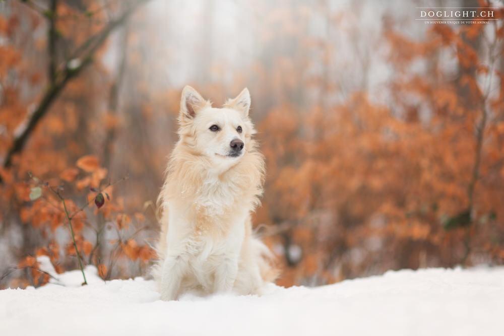 Chien Mudi beige dans la neige