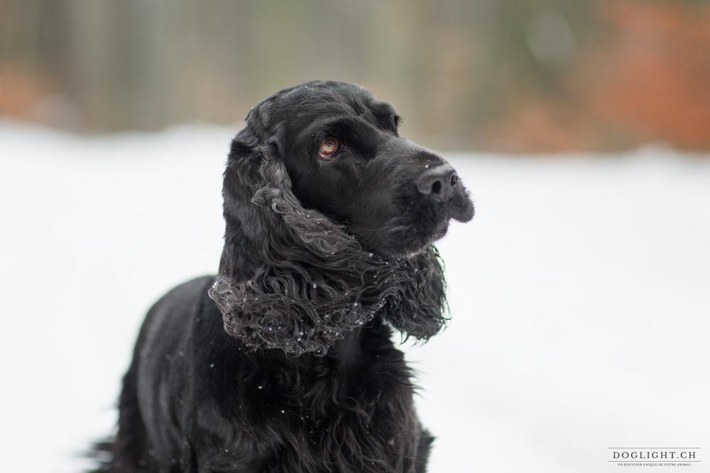 Portrait cocker noir dans la neige