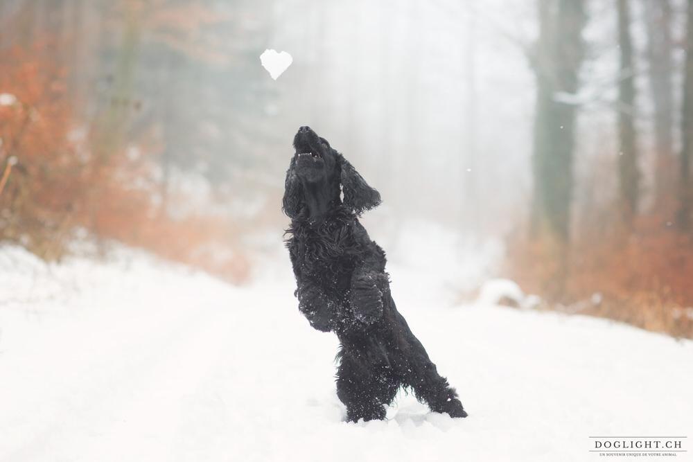 Chien cocker qui saute pour attraper une boule de neige