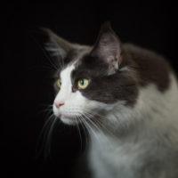 Un shooting photo studio avec des chats Maine Coon à domicile