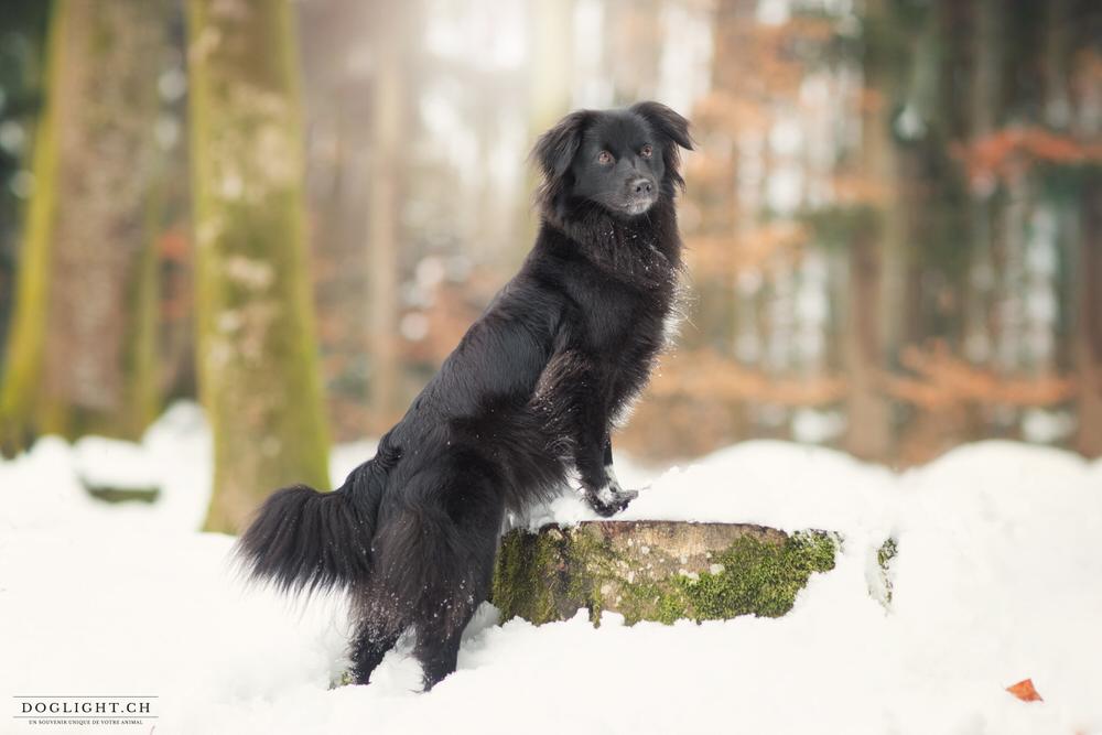 Berger des pyrénées noir dans la neige