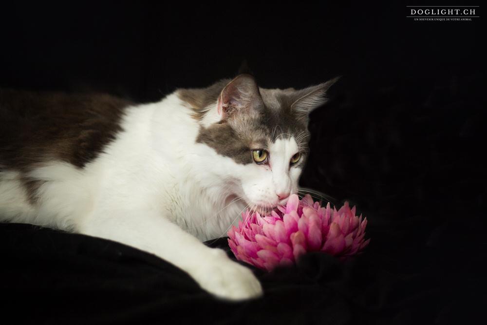 Maine Coon photo studio avec fleur