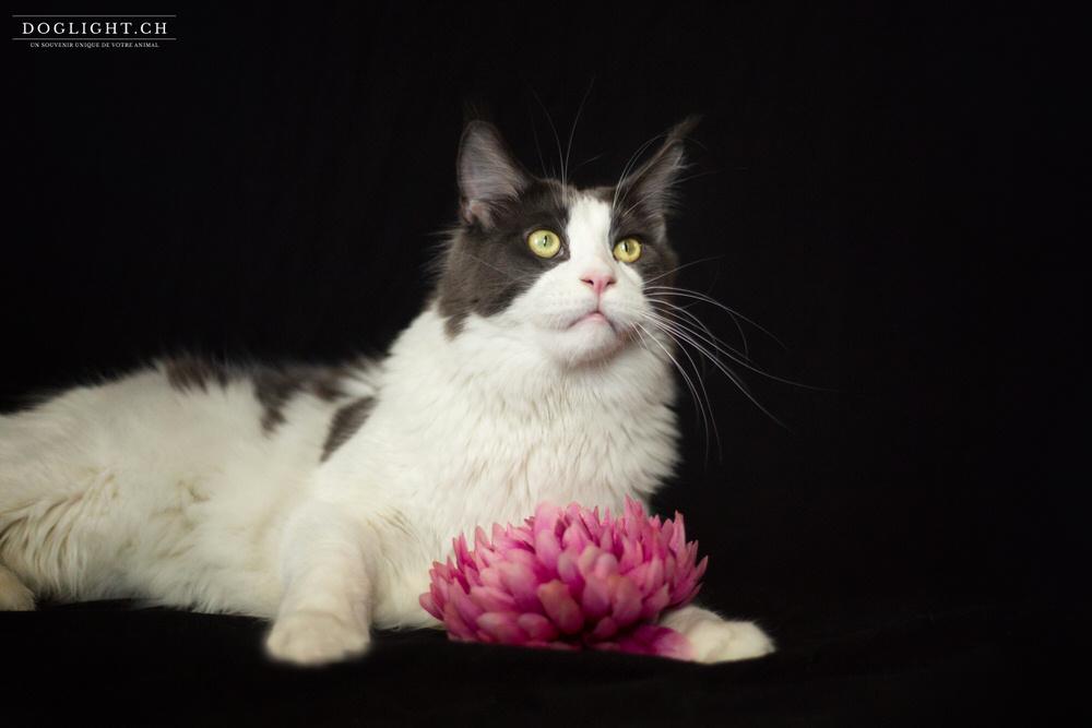 Photo studio Maine Coon - fond noir classe avec fleur