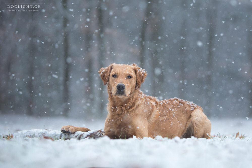 Chien sous les flocons de neige golden retriever