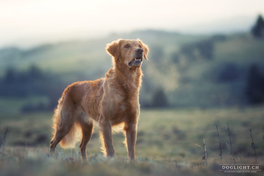 Golden retriever de travail Suisse