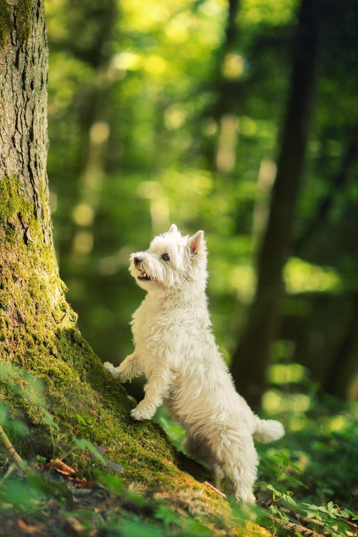 Westie d'Yverdon sur un arbre