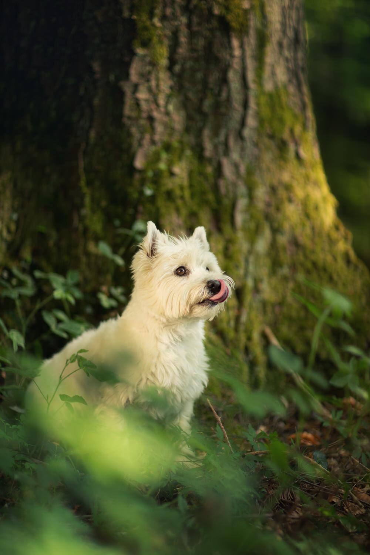 Westie à côté d'un arbre