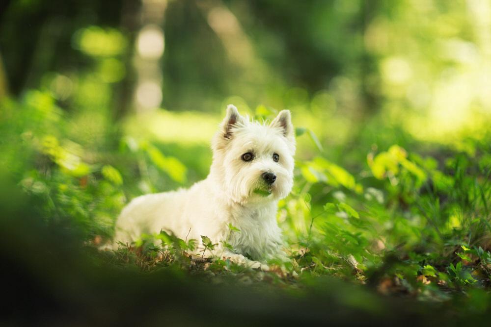 Westie dans l'herbe
