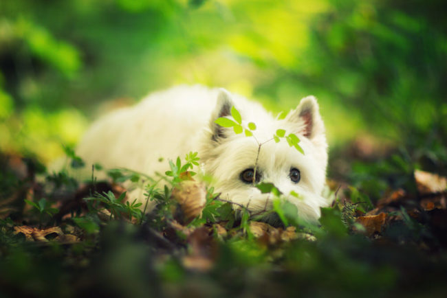 Photo portrait Westie