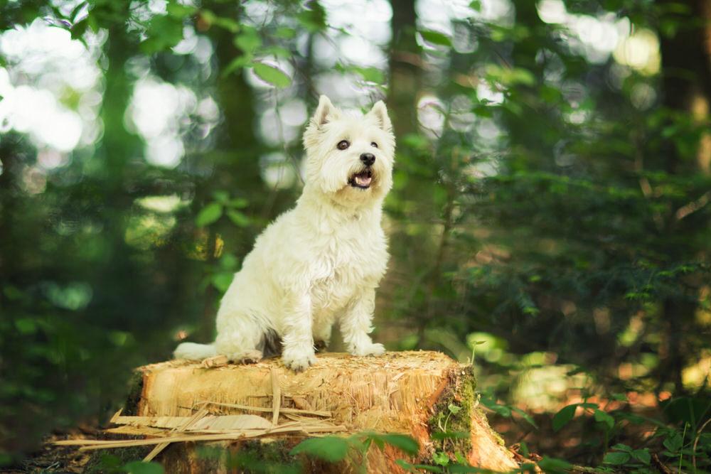 Westie sur une souche d'arbre avec un grand sourire
