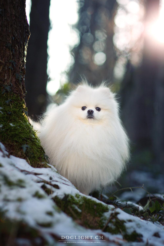 Portrait chien blanc très poilu
