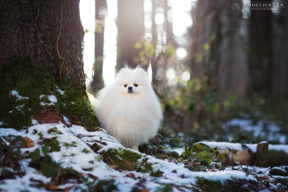 Photographie avec un spitz nain en forêt