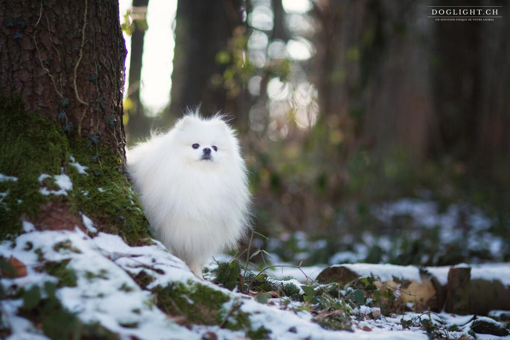 Spitz nain blanc neige