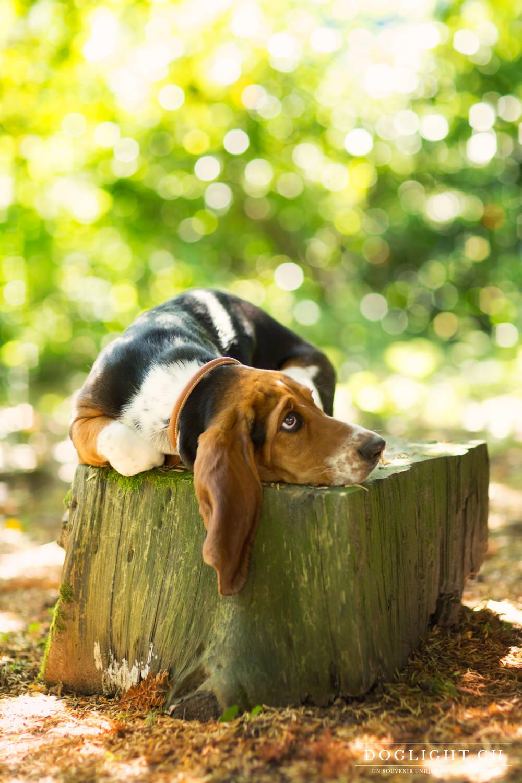 Basset oreille tombante sur arbre