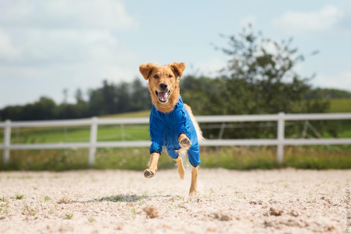 Body pour chien récupération sport