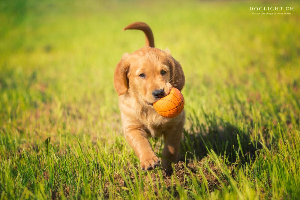 Chiot Golden Retriever avec sa balle