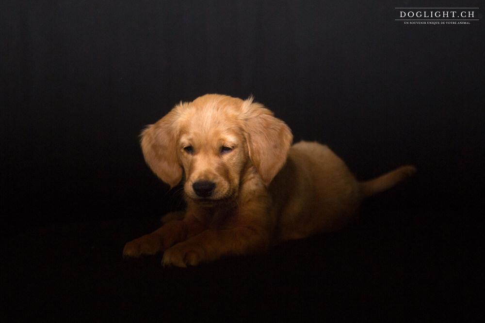 Photo studio chiot golden retriever 2 mois