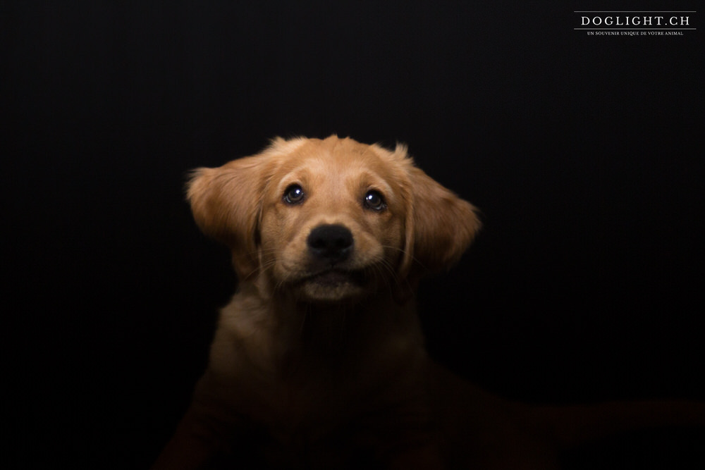 Photo studio portrait regard chiot golden retriever 2 mois