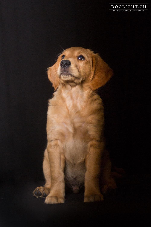 Photo studio chiot assis golden retriever 2 mois