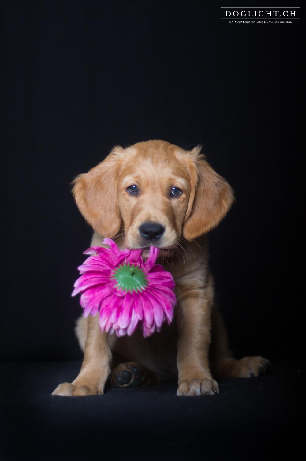 Photo studio chiot golden avec fleur fond noir
