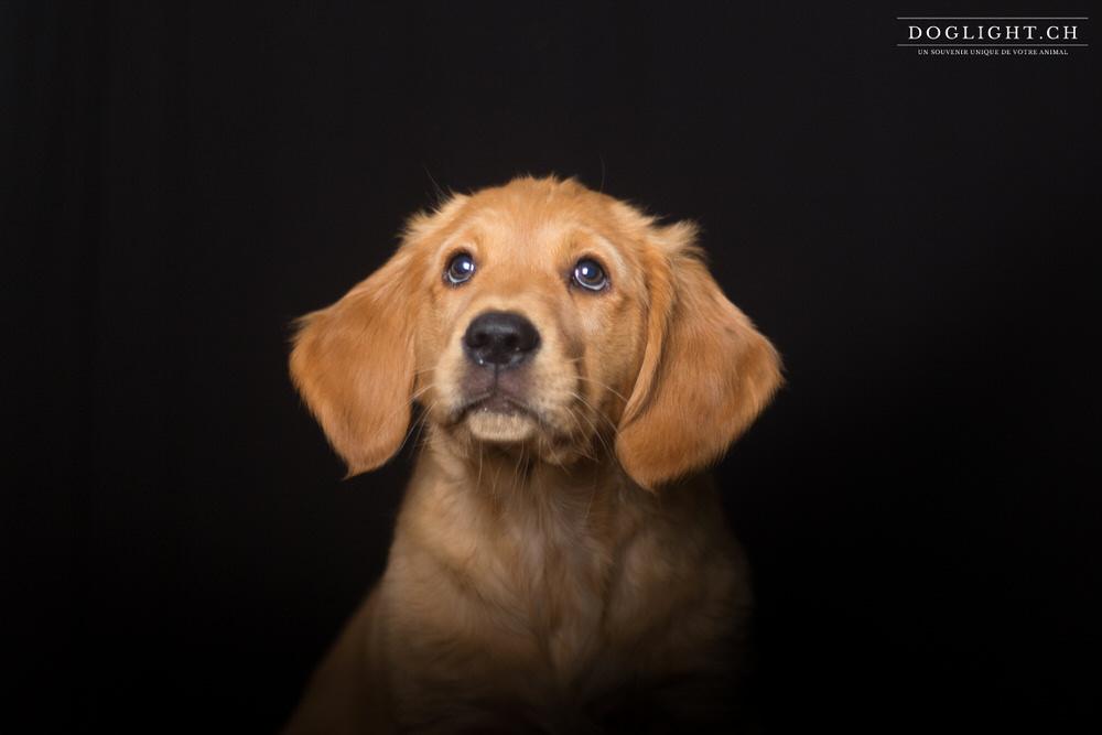 Photo portrait studio chiot golden retriever 2 mois