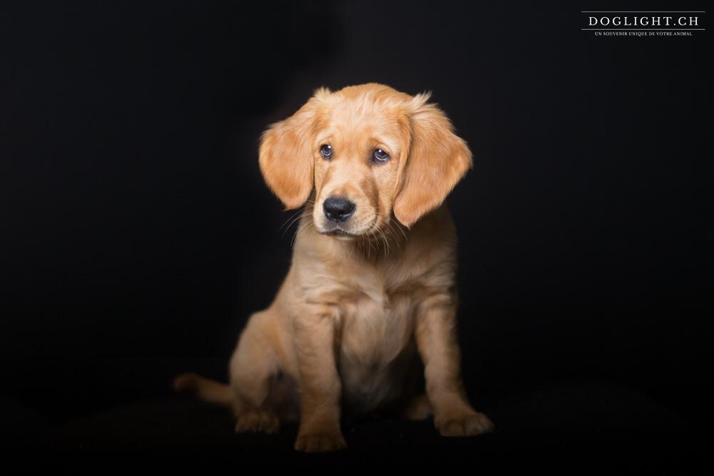 Photo studio chiot assis de face golden retriever 2 mois