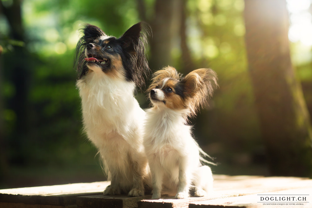Photographe - 2 chiens papillons lumière