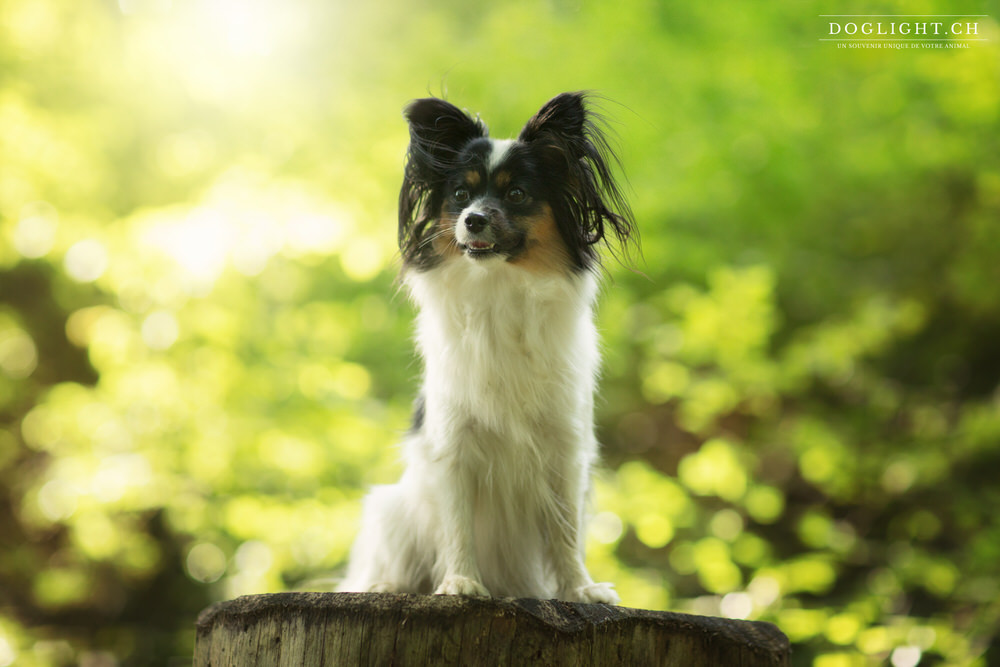 Papillon - photo portrait