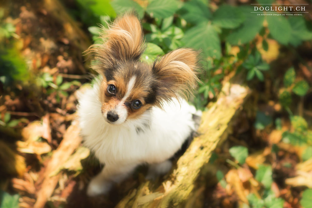Photo portrait chiot papillon
