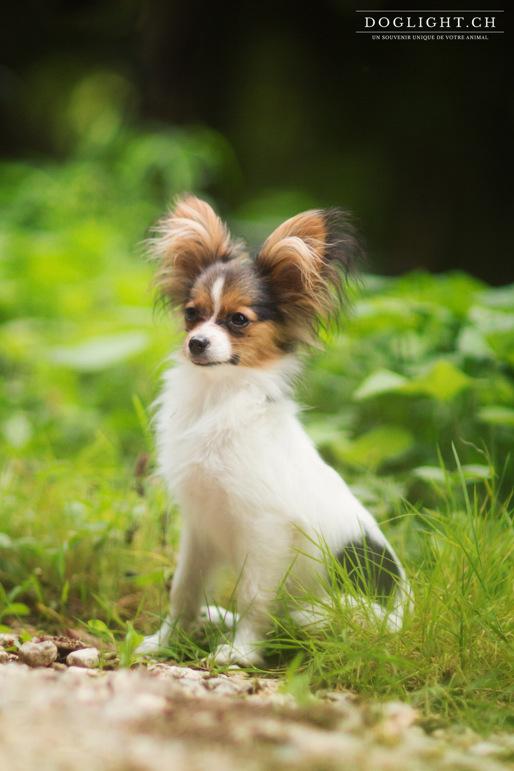Photographe papillon chiot assis