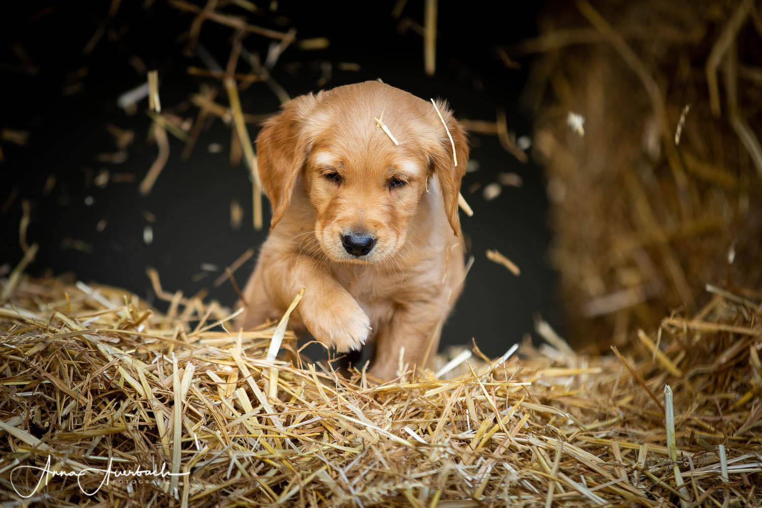 Golden retriever 2 mois.
