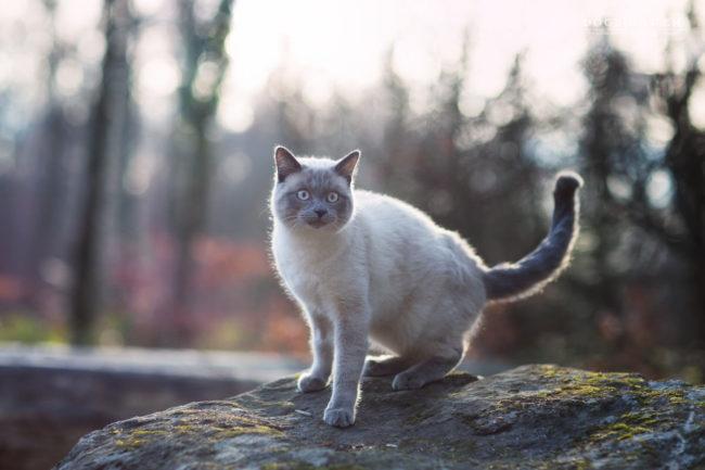 Chat siamois dans la nature en hiver photographe