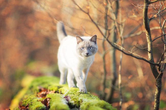 Photographie chat en automne en Suisse