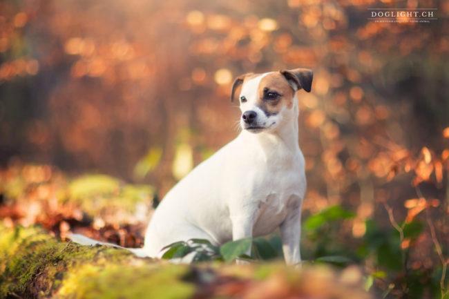 Jack Russel dans les feuilles photographe