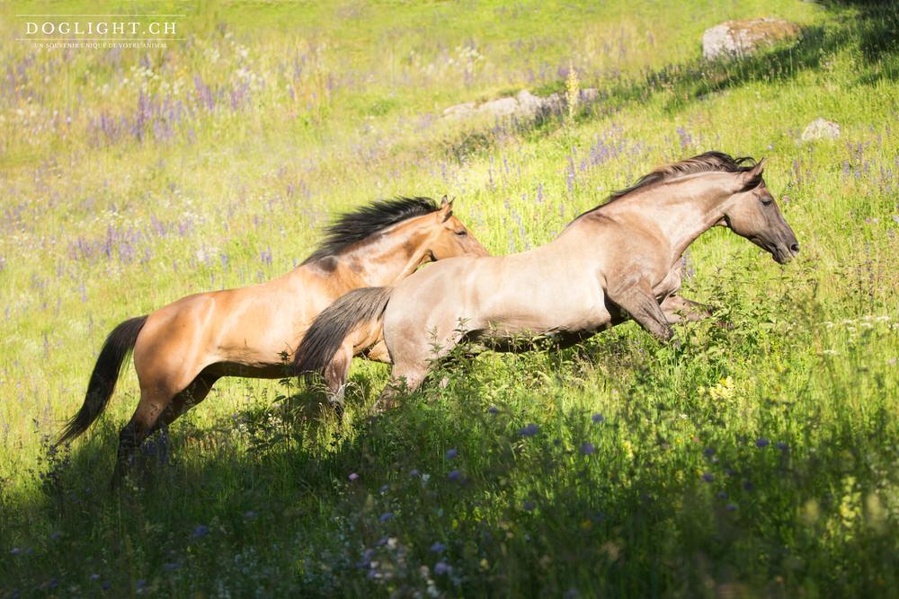 Deux chevaux qui court sauvage comme des mustangs en Suisse