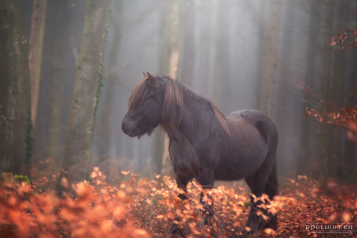 Cheval islandais dans le brouillard d'une forêt en automne