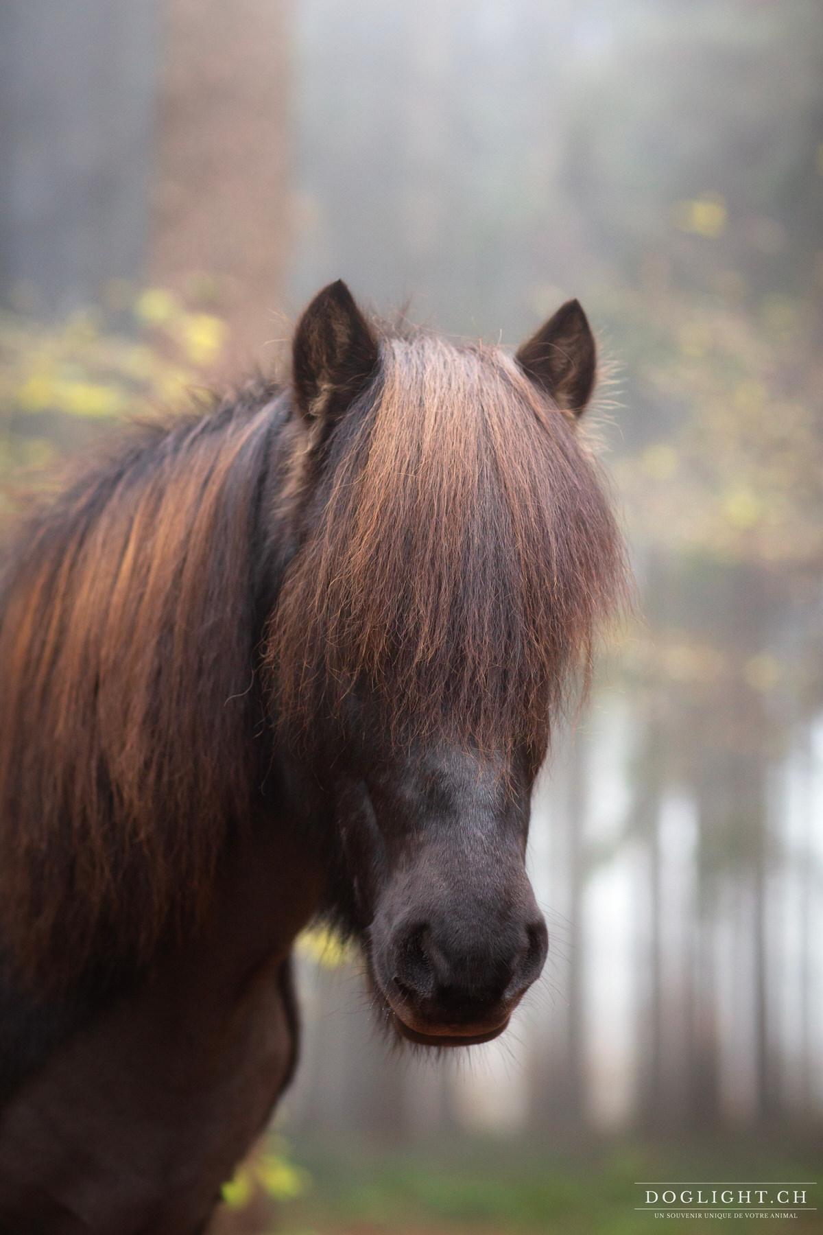 Portrait cheval islandais photographe