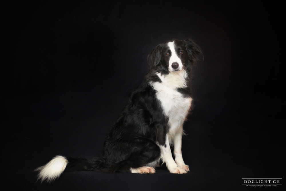 Border collie assis photo studio fond noir