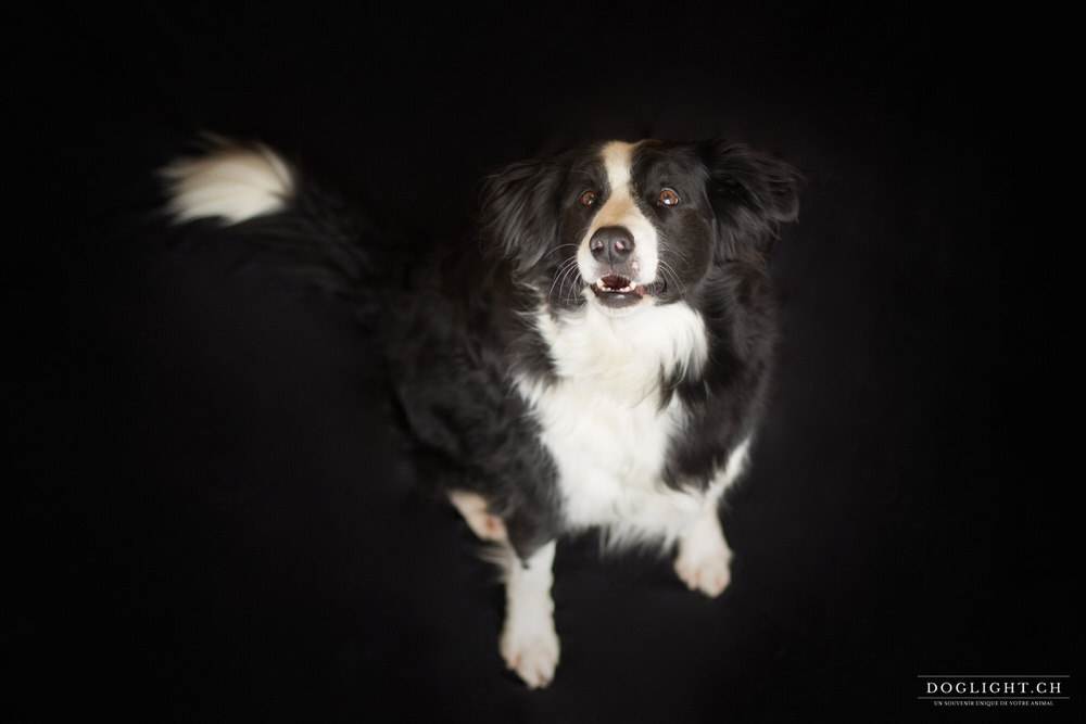 Border collie portrait photo studio fond noir