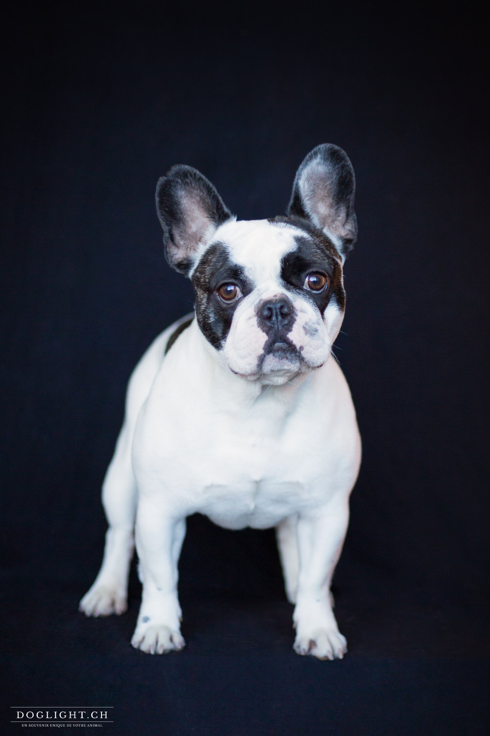 Photo studio bulldog américain fond noir photographe
