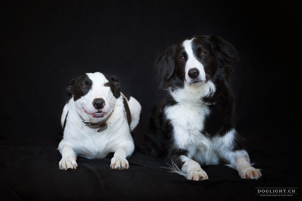 Border collie et Bull terrier photo studio fond noir